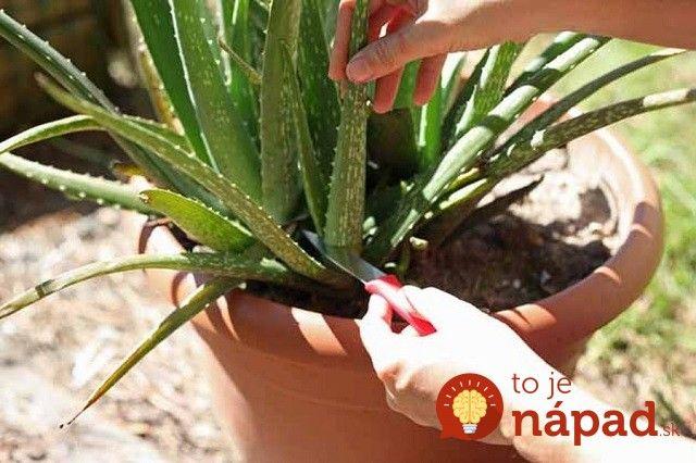 Mnohí ľudia pestujú Aloe vera celý rok v rovnakých podmienkach, avšak mali by ste vedieť, že v prípade tejto rastlinky to nie je najlepší nápad. Aloe vera pochádza z tropickej klímy a na zimu by ste jej mali venovať špeciálnu pozornosť. Mnohí pestovatelia sa sťažujú, že ich rastlinky, ktoré majú aj 4-5 rokov sú po...