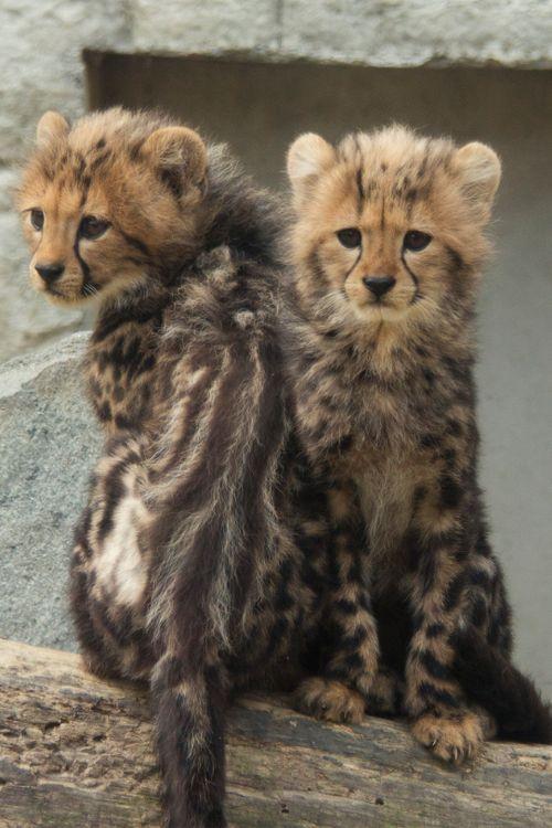 King Cheetah cub!