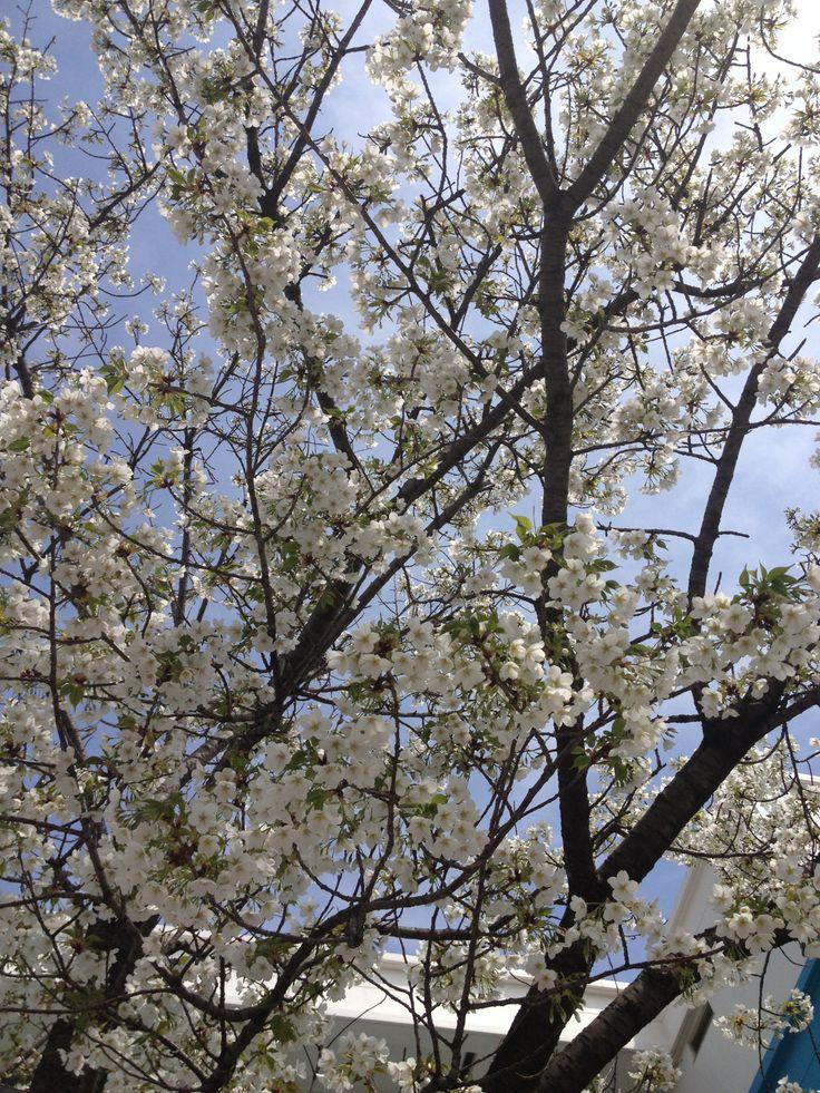 Japanese Cherry Bloomed, Spring 2014