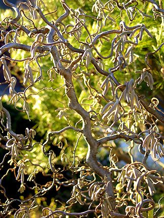 """The contorted hazelnut tree (Corylus avellana """"Contorta""""), also called Harry Lauder walking stick or corkscrew hazel ~ boasts branches that twist in every direction. In early spring the branches are dotted with yellow flower clusters called catkins. Really want one of these like Bob's."""