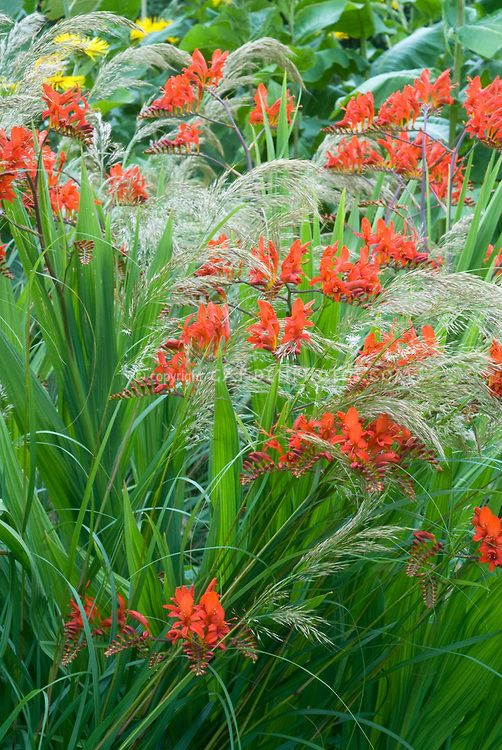 Stipa tenuissima (Mexican feather grass). With crocosmia.