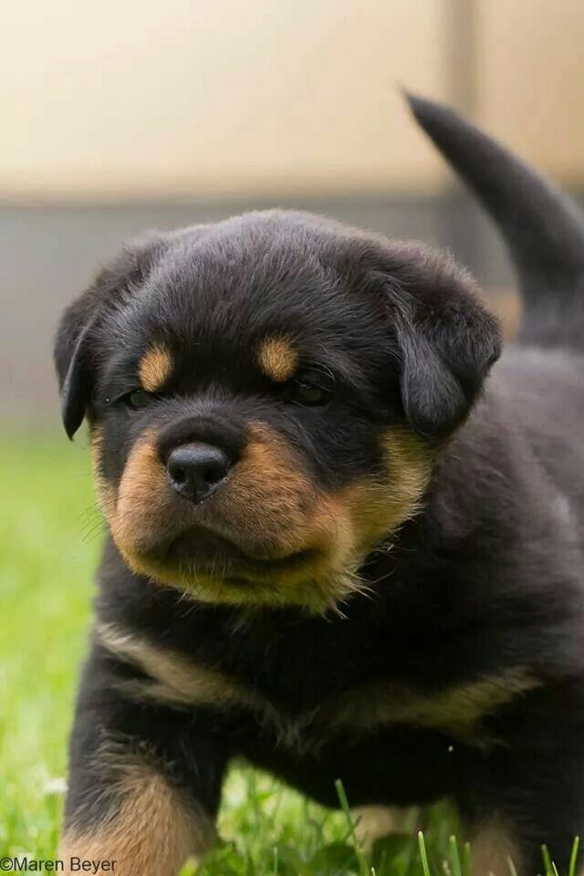 17 Best Images About Gorgeous Rotty On Pinterest Best