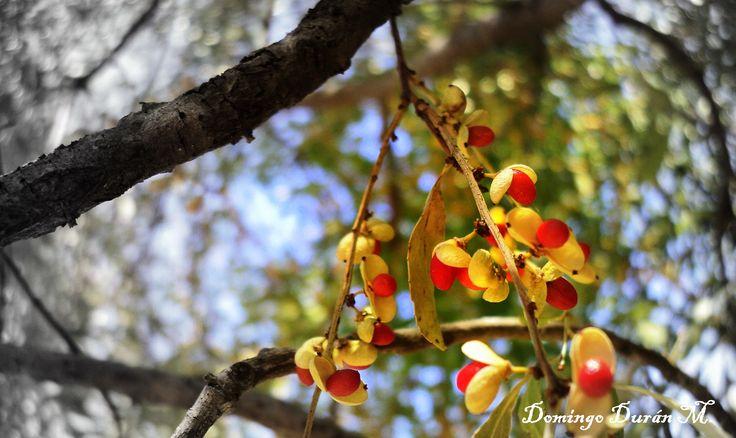 Árbol nativo, Maitén