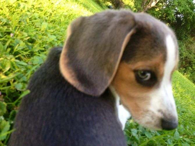 How To Train Beagles With Pictures Wikihow Beaglepuppies