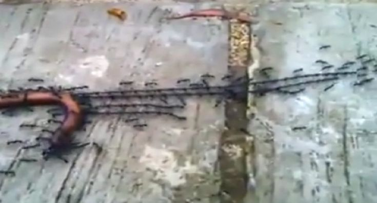 Ants Build Long Chains to Drag Dead Worm Back to the Colony