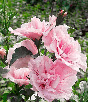 Hat mich dieses Jahr als Ministräuchlein schon mit 2 wunderschönen Blüten erfreut <3 Gefüllter Hibiskus 'Chiffon®' pink