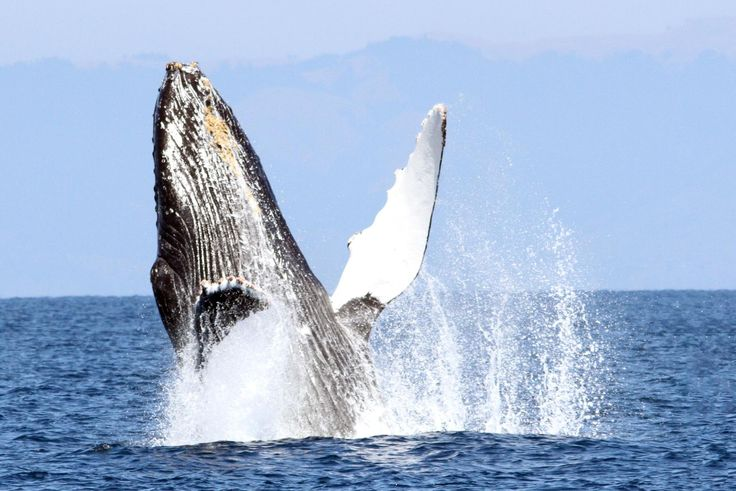 Join us on a day trip from San Francisco or Sausalito to the wonderful and wild Farallon Islands, one of the most diverse and exciting marine environments on Earth. Look for humpback and blue whales, thousands of seabirds, dolphins, sea lions and seals, harbor porpoises, and much more.