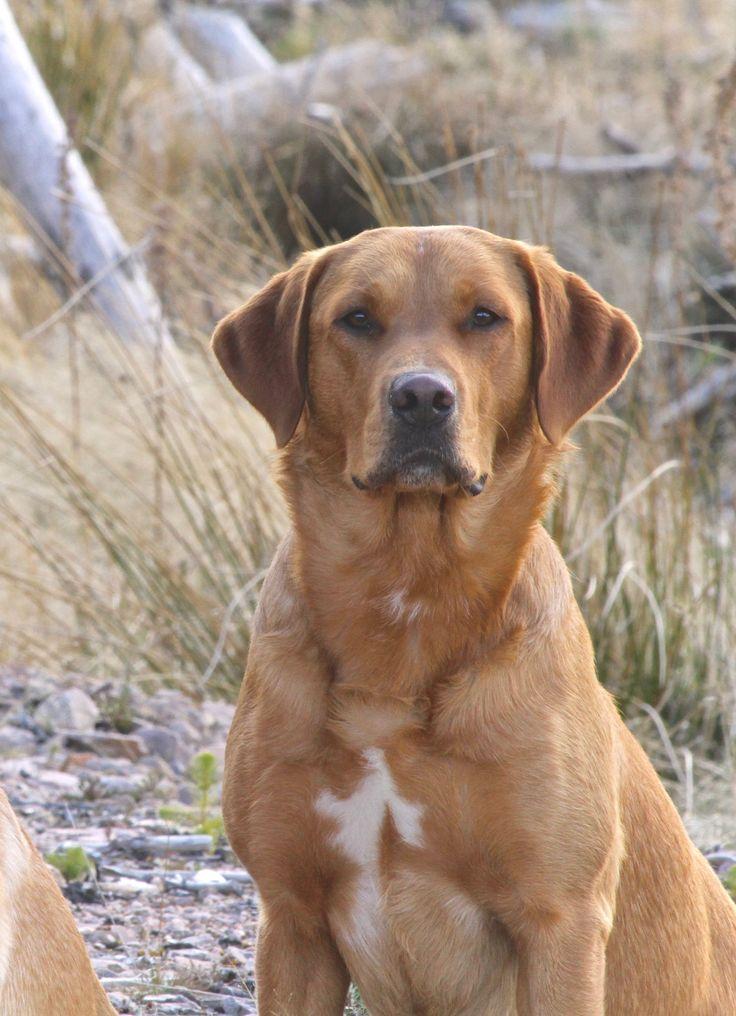 Fox Red Labrador – FTW Quarnford Tafelente von Rufriver