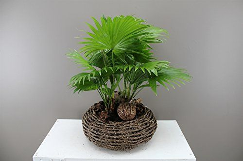 Tropical Footstool Palm - With Decorative wooden basket -... https://www.amazon.co.uk/dp/B01KI7Y8HK/ref=cm_sw_r_pi_dp_x_5LzjybZ3Y3EMZ