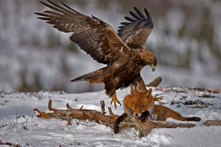 Águila cazando Zorro