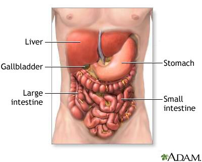 Digestive System Organs: The digestive system organs in the abdominal cavity include the liver, gallbladder, stomach, small intestine and large intestine. From the NIH