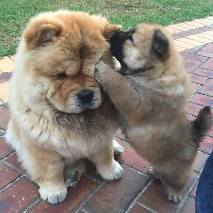 Amazing Mixed Chubby Adorable Dog - 3ba46bc6cb46945942aa7a8d93c48766--chow-puppies-chow-chow-dogs  Photograph_255259  .jpg