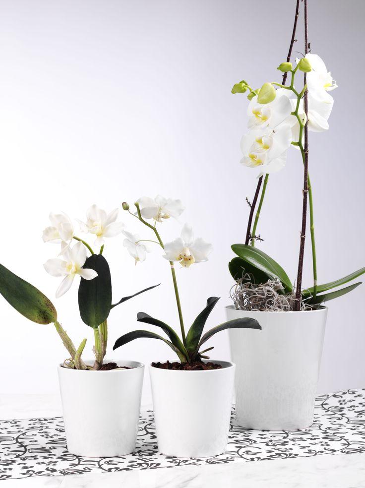 Macetas de cerámica para Orquídea, Macetas especiales para Phalaenopsis, Orquídeas. La presentación más lujosa para una orquídea sin duda és una maceta elegante que realza el estilo de la planta. El regalo perfecto para el día de la Madre o cualquier ocasión. Recipiente para Phalaenopsis, Orquídeas. Tienda on-line mayorista para profesionales y floristería cistelleriapou.com