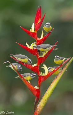 Bananaquits on a Bird Of Paradise Plant, Brazil