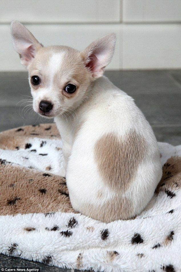 I Love You Too Susse Tiere Hund Chihuahua Babyhunde