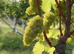 Как пересадить виноград - Садоводка