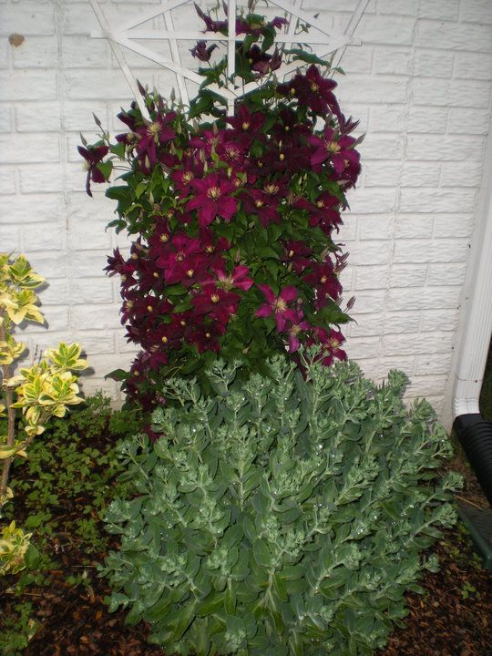 burgundy clematis vine climbs the trellis learn 4 secrets to gorgeous clematis flowers