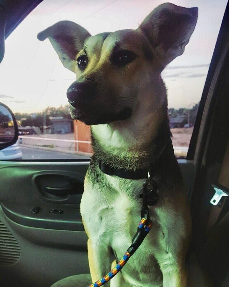 Hi! Posting for a friend. We can't figure out what kind of mix this sweet girl Cally is. We think maybe GSD and something. She is 11 months old 48 lbs and he got her from a GSD rescue in Houston TX. What do y'all think? One more picture in the comments! #dogpictures #dogs #aww #cuteanimals #dogsoftwitter #dog #cute