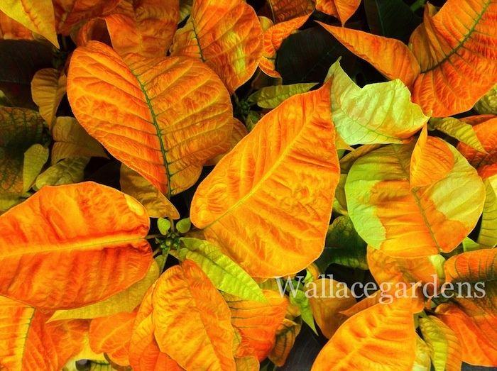 New Poinsettia Colors Love This Pumpkin Spiced