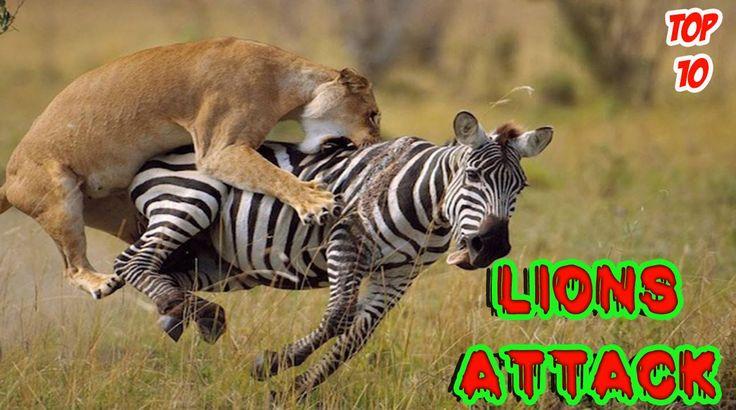 TOP 10 LIONS ATTACK #LIONS_ATTACK #lion #lions #attack #top10