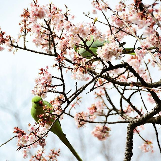 【umeneco0705】さんのInstagramをピンしています。 《大抵の鳥がそうであるけどこのインコもペアで行動♡2羽で桜の花をむしっては落としまくってました(苦笑)  #寒桜#ワカケホンセイインコ#インコ#桜の花#桜#満開#2羽#ペア#番い#上野恩賜公園#上野公園#緑の鳥#春#早春 #uenoparktokyo#uenopark#cherryblossom#patakeet#greenbird#cherryblossoms#roseringedparakeet#tokyo#spring#springview》