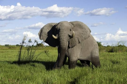 Elephant spotting at Mombo Camp (Okavango Delta, Botswana). Any questions: info@gondwanatoursandsafaris.com - we reply within 24h!