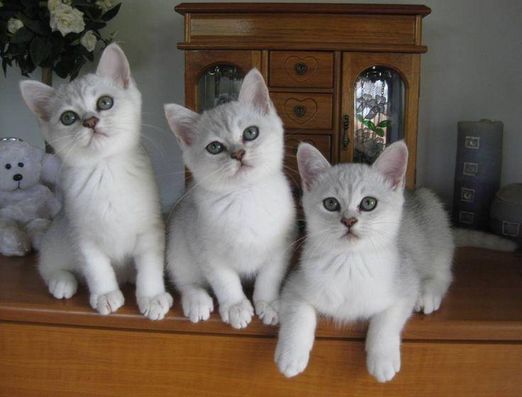 burmilla cat characteristics - Pretty Burmilla Cats – Best Animal ...