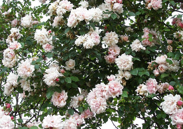 más de 25 ideas increíbles sobre rosales cuidados en pinterest