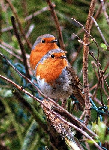 "British Robins ... can't beat them! Wherever I've lived there has always been a robin who has totally befriended me - and I've always named them ""Tim"" in honour of one of my fave authors Derek Tangye, who wrote about one in his books ♥ It's unusual to see two sitting together like this; despite their endearing image they are very aggressive little birds, and will fight to the death over their territory."