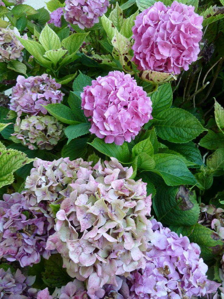 Les 98 meilleures images du tableau roses pivoines iris Fleurs pivoines