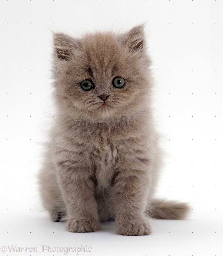 male persian blue kitten~ cute~