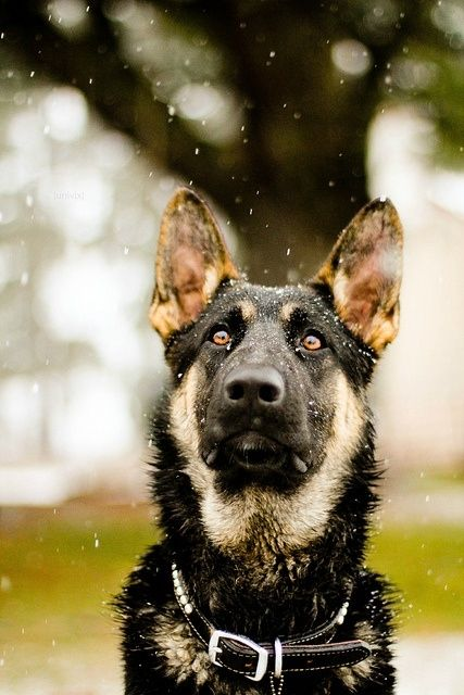 German Shepherd In The Rain Pictures, Photos, and Images for ...