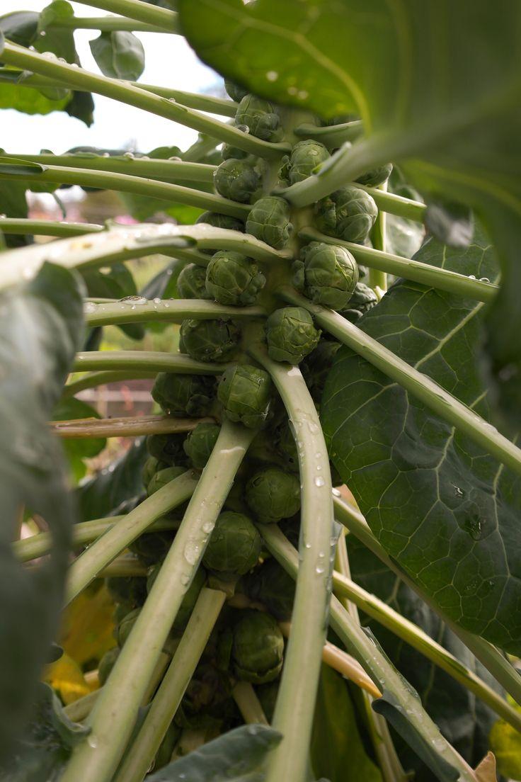 Harvest Time Soon #garden #harvest ##brusselsprouts, brusselsprouts #food #instrafood #vegan #healthy #Veggies #fresh #water #morningdew #flowers #green