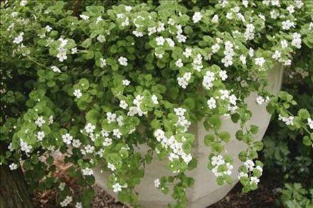 Snöflinga – Sutera cordata – blommar hela sommaren, hängande växtsätt, behöver inte plockas.