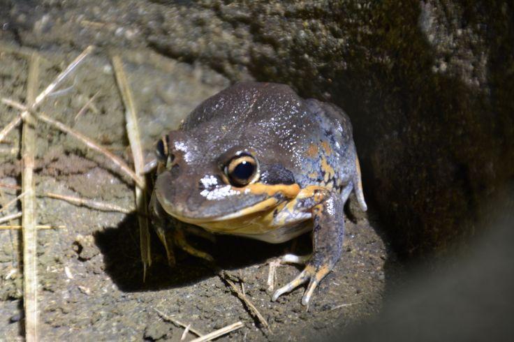 "Pobblebonk Frog - Seen 30/5/2014 at night.  Call is a resonant ""bonk"" like a banjo sound."