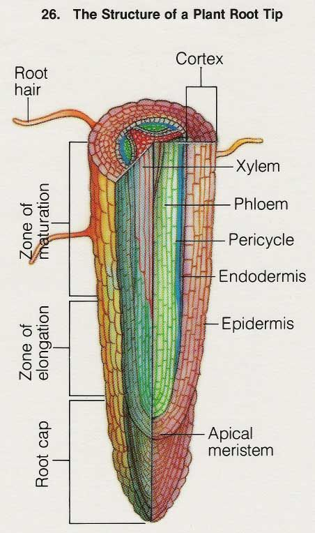 ... BOTANY on Pinterest | Cross section, Plant cell and Cell structure