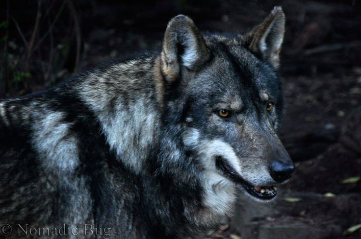 WOLVES at Noah's park and WOLF SANCTUARY, Garden Route, South Africa Nomadic Existence