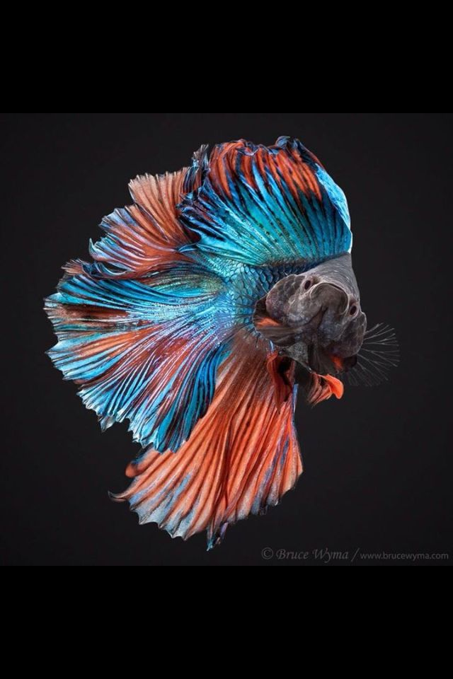 Fancy fish in an orange blue dress betta fish siamese for Betta fish temp
