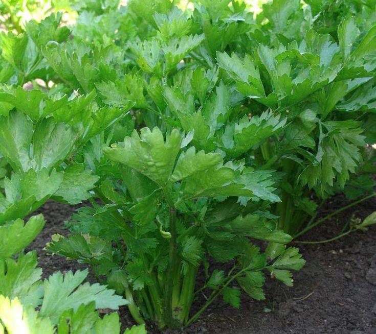 Сельдерей листовой и корневой
