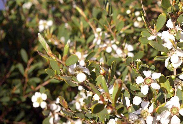 Árbol de té ➨➨➨ Entra y descubre sus propiedades, usos y aplicaciones, así como las características del árbol. Pero eso no es todo...