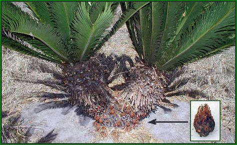 Starting sago palms from pups