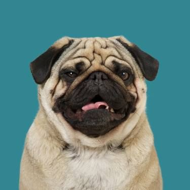Project 100 Dogs Egon the Pug