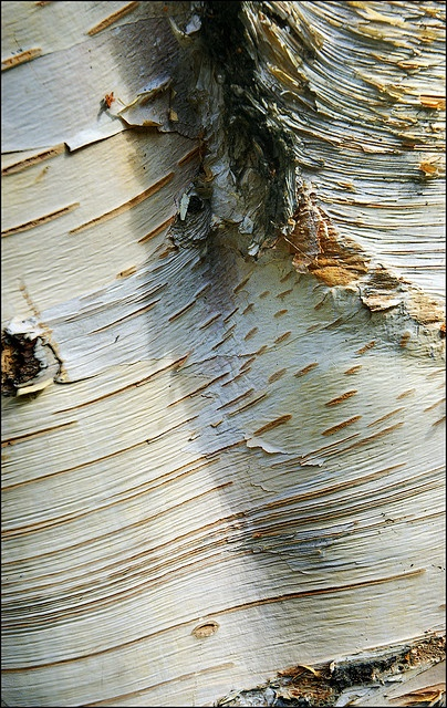 Silver Birch bark  Not really floral, but birch s in my blood. Love it.