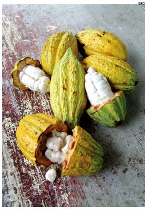"Cacao!  Also known as Baba Fruit or Spanish for ""spit"" - quite the humble beginnings of chocolate."
