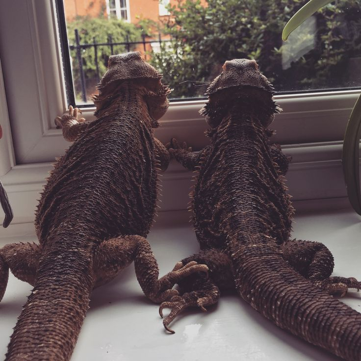 Bearded dragons looking for a sun.
