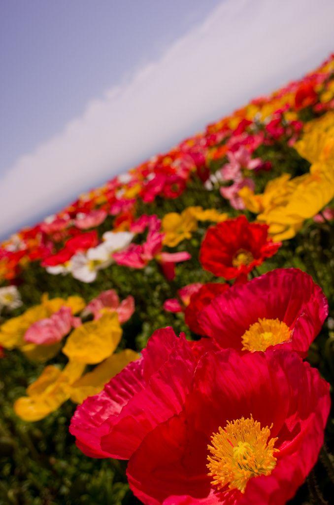 Poppy field, Awaji Island, Hyogoo, Japan