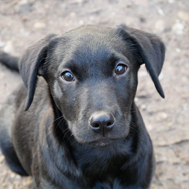 Susser Schwarzer Labradorwelpe Sweet Black Labrador Puppy Welpe Labrador Hundebaby Dogs Hunde Hundeliebe Babydogs B Schwarze Hunde Hunde Hunde Welpen