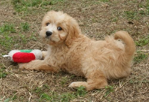 Corey is an adorable, active cavapoo boy. He was sent to rescue because he became too large to sell at a pet store. He adores children and gets along well with other dogs. He hates to be left alone and will need a home with someone who is a stay at...