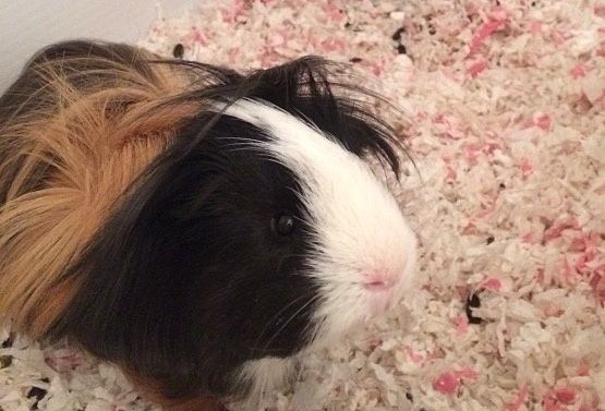 Guinea Pigs for Adoption in Riverside, California. Tokyo the Famous Peruvian Pig in the US-California-Inland Empire region - www.GuineaPigFinder.com