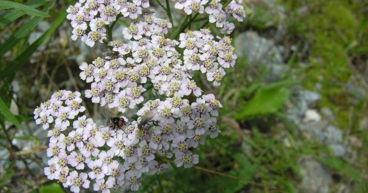 Η Αγριαψιθιά γνωστή και ως Αχιλλέα η χιλιόφυλλος με επίσημη ονομασία Achillea millefolium, είναι φυτό ποώδες, πολυετές, ανθοφόρο με φύλλα...